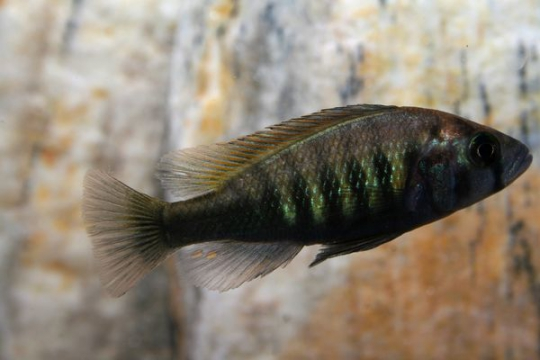 Haplochromis brownae - 5-6.