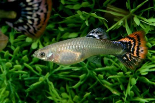 Guppy femmelle cobra multicolore - ML