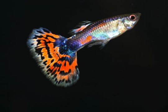 Guppy multicolore - L