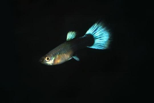 Guppy femelle néon bleu - ML
