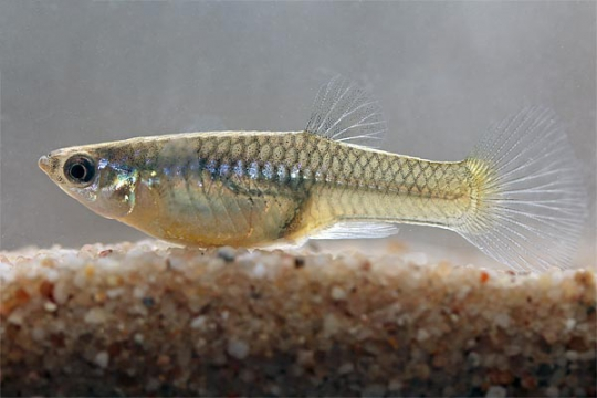 Guppy femelle endler Japan blue - ML