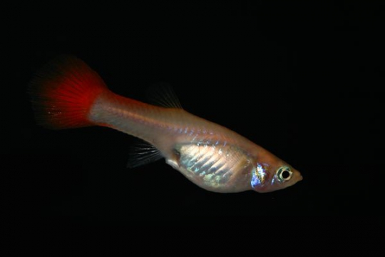 Guppy femelle red blond - ML