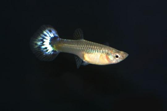 Guppy femelle colorée - L