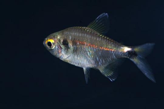 Hemigrammus ocellifer - L