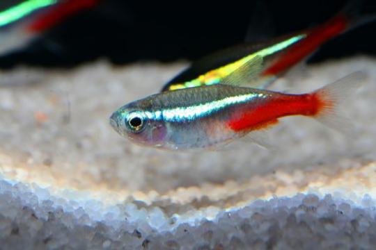 Hyphessobrycon néon bleu - M