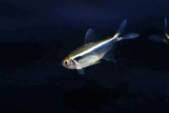 Hyphessobrycon néon noir - L
