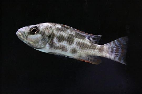 Nimbochromis livingstoni 5-6.