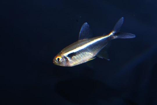 Hyphessobrycon néon noir - XL