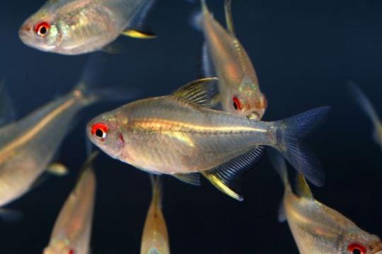 Hyphessobrycon pulchripinnis - L