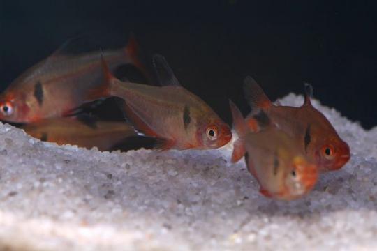 Hyphessobrycon serpae - L