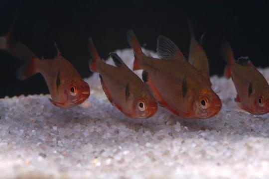 Hyphessobrycon serpae - XL