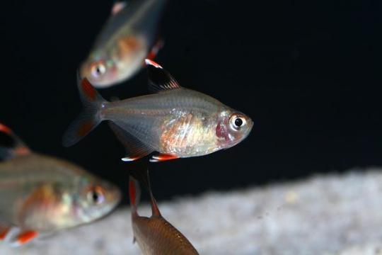 Hyphessobrycon socolofi - L