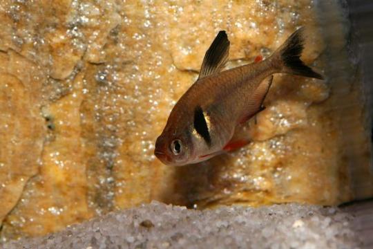 Hyphessobrycon megalopterus - ML