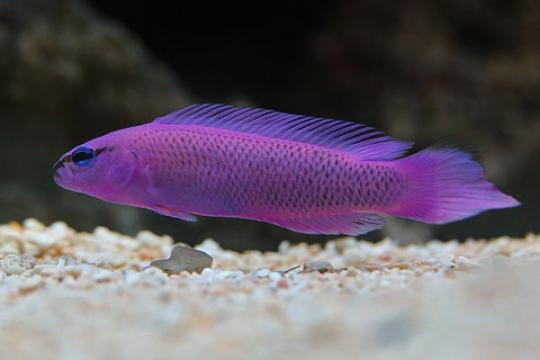 Pseudochromis Fridmani elevage L
