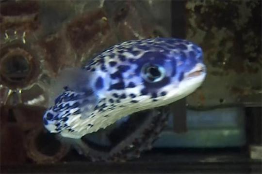 Diodon eydouxii - 9-12 cm