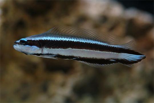 Pseudochromis sankeyi élevage L