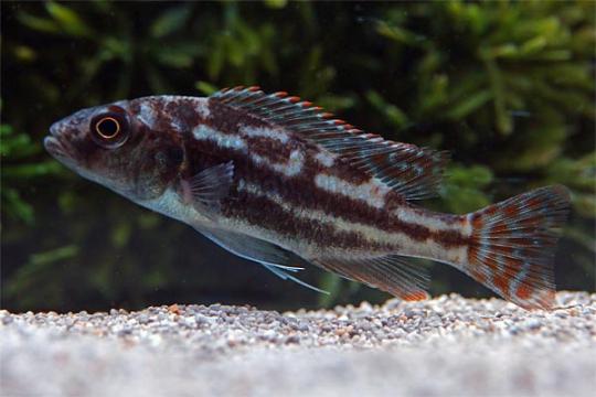 Nimbochromis fuscotaeniatus 6-8.