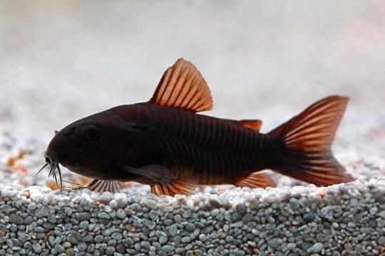 Corydoras aeneus black Venezuela ML
