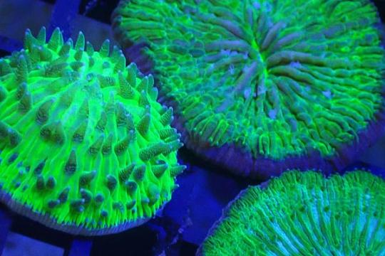 Fungia Scutaria vert 2-3