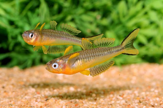 Pseudomugil furcatus - 0,8-1 cm