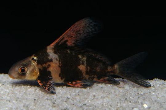 Myxocyprinus asiaticus - 7-8.