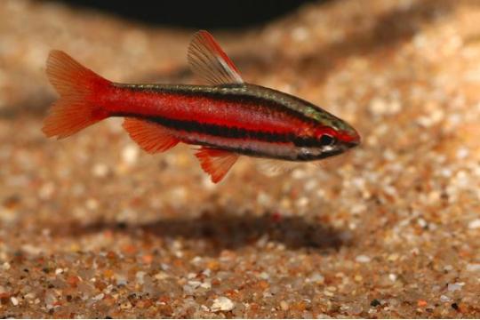 Nannostomus mortenthaleri (rouge) - ML