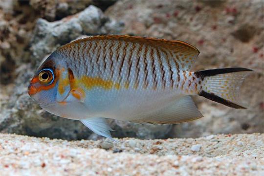 Genicanthus semifasciatus mâle L