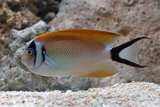 Genicanthus semifasciatus femelle L