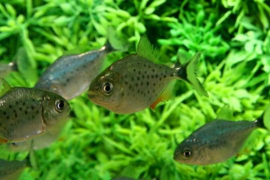 Piranhas (S. nattereri) - 5-6.