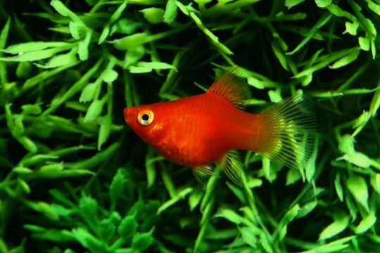 Platy corail rouge - M