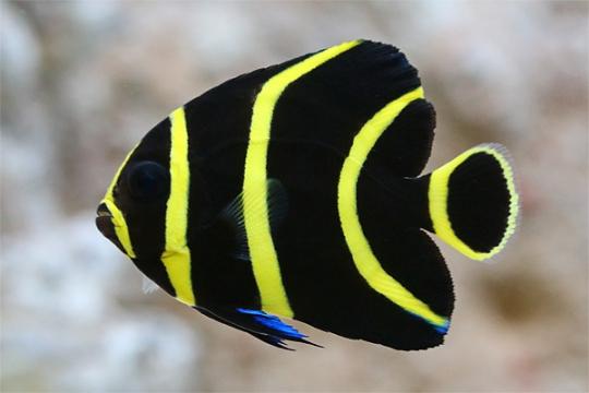 Pomacanthus Paru 2-3