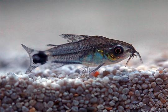 Corydoras hastatus (nain) -