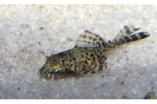 Pterygoplichthys gibbiceps - 5-6.