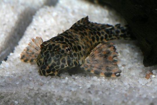Pterygoplichthys gibbiceps - 7-8.