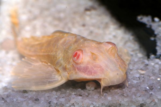 Pterygoplichthys gibbiceps doré - 7-8.
