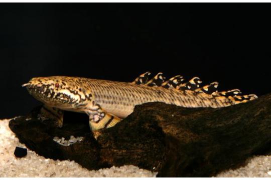 Polypterus ornatipinnis - 10-12.