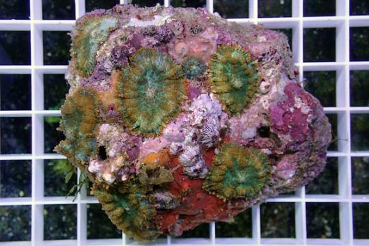 Rhodactis inchoata multicolor XL