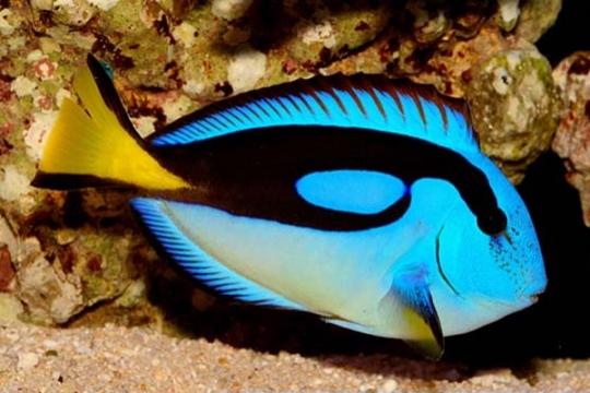 Paracanthurus Hepatus ventre jaune - 4-6