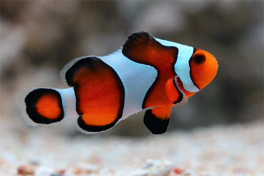 Amphiprion Ocellaris gladiator élevage 3-4
