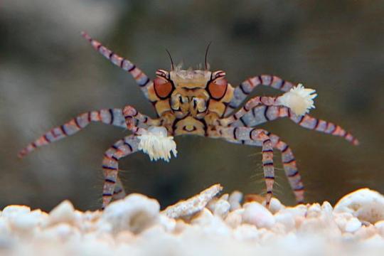 Crabe Lybia SM