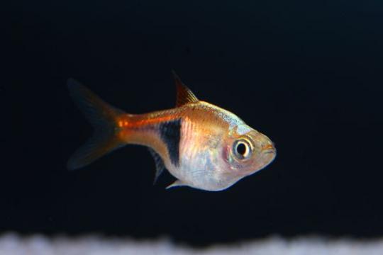 Rasbora heteromorpha (Trigonostigma) - M