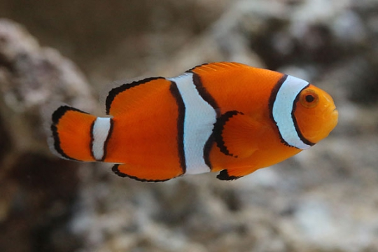 Amphiprion Percula 2-2,5