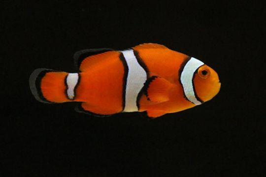 Amphiprion Percula élevage 2-2,5