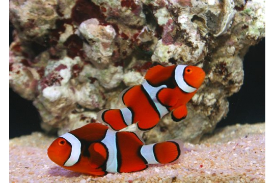 Amphiprion Percula - 3-3,5