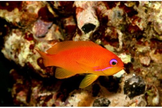 Pseudanthias Squamipinnis - L