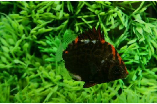Scatophagus rubrifons - ML