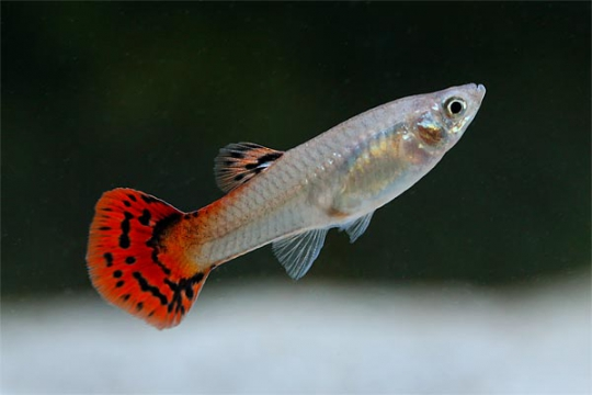 Guppy femelle cobra rouge L