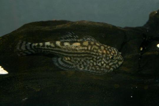 Sewellia lineolata - 5-6.