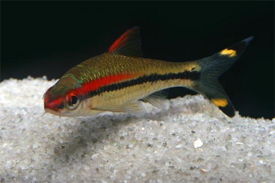Barbus denisonii (Puntius) 3-4.