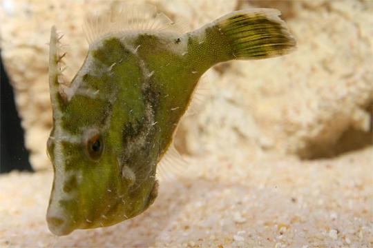 Acreichtys tomentosus (mangeur d'aiptasia) M